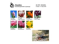 Blumenzwiebelpaket Exclusiva – 70 Tulpen für den G