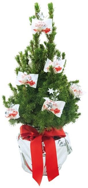 111795254426 - Sapin neige Douce (10 Raffaello) 35-45 cm, emballa
